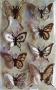 Stickers envol de papillons sépia
